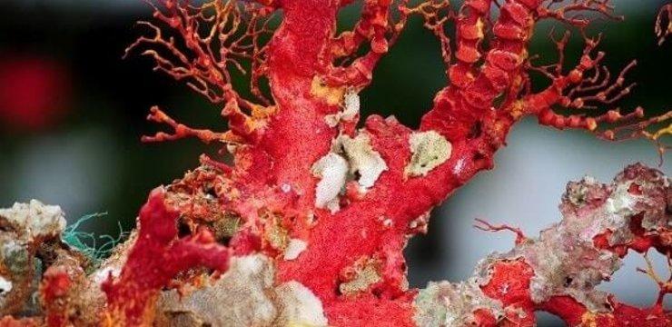 Đá san hô phong thủy - Báu vật ngàn năm dưới đáy đại dương